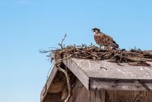 Osprey Bird In The Nest