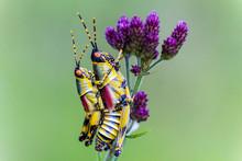 Close Up Of Mating Grasshopper...
