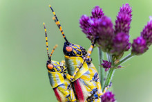 Close Up Of Mating Grasshoppers (Zonocerus Elegans) On A Purple Flower, Green Background, Drakensberg, South Africa