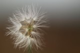 Fototapeta Dmuchawce - dandelion on black background