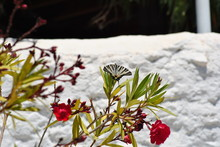 Scarce Swallowtail Butterfly  (Iphiclides Podalirius) In Rhodes