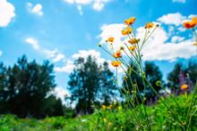 Yellow Wildflowers Against Blu...