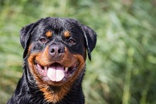 Beautiful Rottweiler Male Posi...
