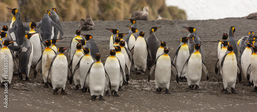 Obraz Group of King Penguins, South Georgia  - fototapety do salonu