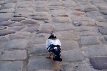 Pigeon Walking Alone On The Co...