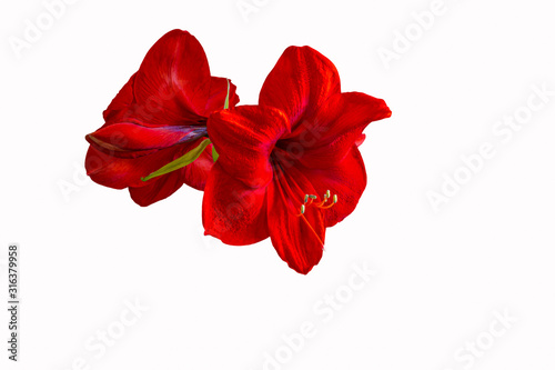 red lion amaryllis isolated on white background Wallpaper Mural