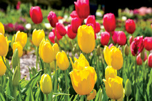 Field Of Red And Yellow Tulips