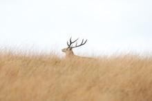 Deer Stag Peak Disrtict Nation...