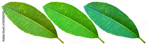 green leaf isolated on white background - 316386543