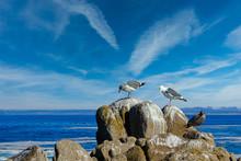 Three Gulls On Rocks In Pacific Grove