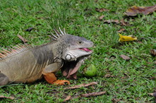 Iguana Eating Fruits In Nature