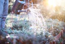 Man Farmer Watering A Vegetabl...