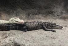 Albino Alligator And A Crocodi...