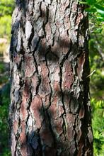 France. Corse. écorces De Pin, Gros Plan Sur Le Tronc De L'arbre. Pine Bark, Close-up On The Tree Trunk.