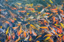 Colorful Fancy Carp Fish, Japan Koi Fish Swimming In A Ponds
