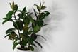 canvas print picture - Gummibaum, Indische Kautschukbaum, Zimmerpflanze, Topfpflanze, Ficus elastica