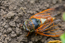 Closeup Huge Cicada Fly Sit On...