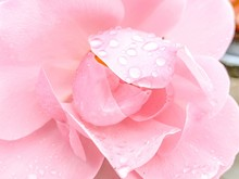 Tender Pink Rose With Rain Drops