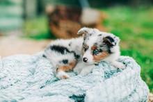 Spotted Mini Australian Shepha...