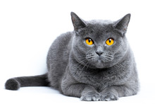 Portrait Of A Gray Shorthair British Cat On A White Background