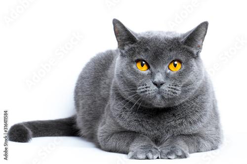 Obraz Portrait of a gray shorthair british cat on a white background - fototapety do salonu