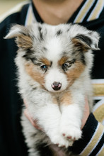 Spotted Mini Australian Shephard Puppy Dog With Blue Eyes And Very Soft Fur Being Held By A Man