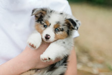 Spotted Mini Australian Shepha...