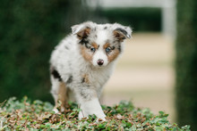 Spotted Mini Australian Shephard Puppy Dog With Blue Eyes And Very Soft Fur Standing Up Outdoors