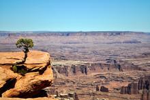 Solitary Little Juniper Tree C...