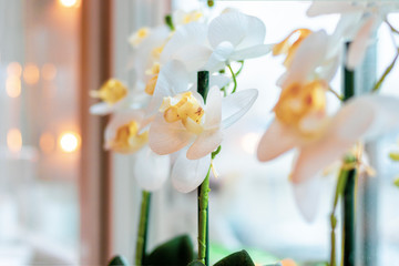 Close up of a white orchid flower by a window in soft focus background