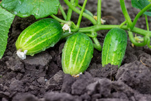 Green Cucumbers On A Bed. Growing Cucumbers_
