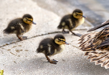 A Cute Group Of Mallard Chicks...