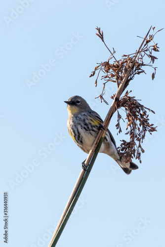 Watchful Female Pine Warbler perched against blue sky on bush branch with head looking to right for potential danger Canvas Print