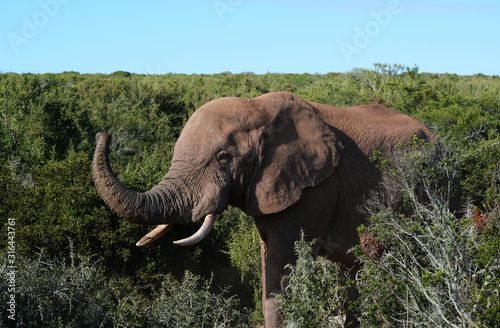 Photo Lonely elephant showing his trunk