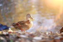 Duck Autumn Park Pond / Bird B...