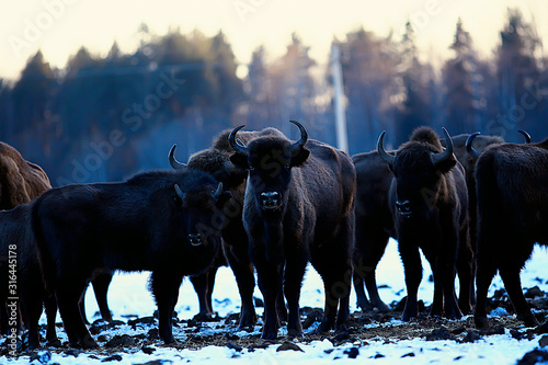 Aurochs bison in nature / winter season, bison in a snowy field, a large bull bu Wallpaper Mural
