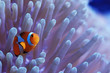 clown fish coral reef / macro underwater scene, view of coral fish, underwater diving