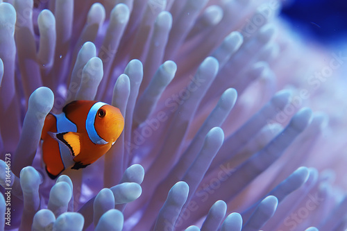 Valokuva clown fish coral reef / macro underwater scene, view of coral fish, underwater d