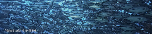 Fotografía many Caranx underwater / large fish flock, underwater world, ocean ecological sy