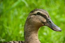 Female Mallard Portrait