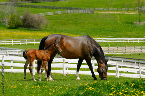 Fototapeta Young colt staying close to mother grazing fresh grass in a paddock in Spring