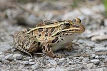 Leopard Frog Portrait