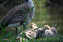 Goslings In The Sun