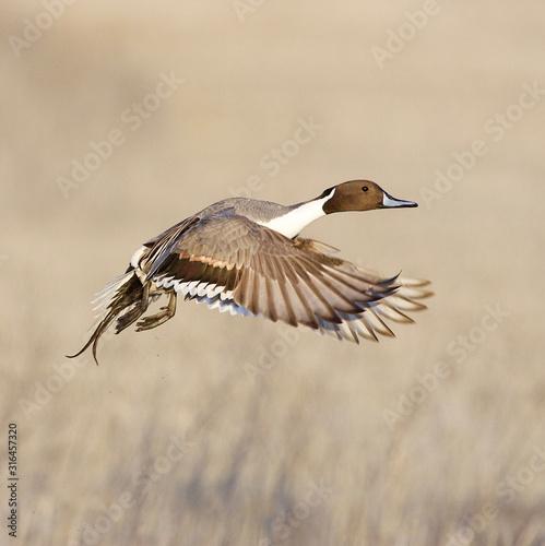 Photo A beautiful Pintail  drake takes flight over wetland habitat