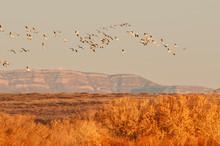 Snow Geese In Flight;  Bosque ...