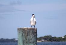 Immature Royal Tern Bird Facing Camera. An Immature Royal Tern Sits On A Post Facing The Camera At Cedar Key, Florida, On The Gulf Of Mexico. It Has Darker Wingtips And Paler Bill Than Adults.