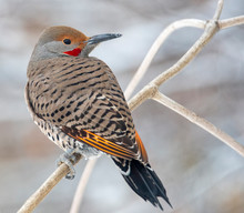 Northern Flicker In Idaho In W...