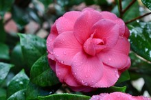 Pink Camilia Flower Bloom With Rain Drops