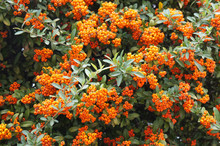 Shrub Of Pyracantha Red Cushion Or Firethorn With Orange Berries