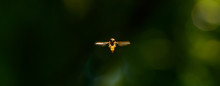 Marmalade Hoverfly In Flight F...